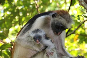 Baby Monkey with Mum