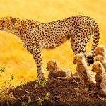 Female Cheetah with newborn cubs