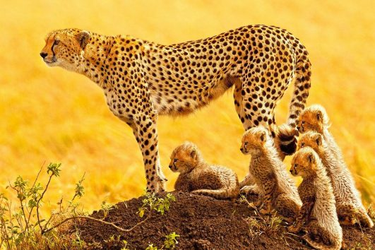 Female Cheetah with newborn cubs