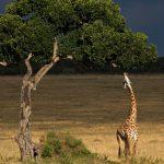 Giraffe feeding from a tree