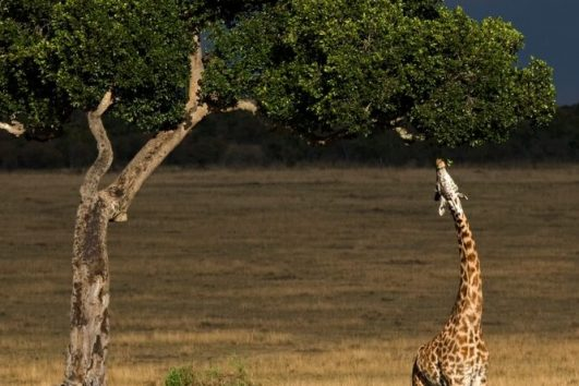 Giraffe feeding from a tree