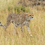 Cheetah hunting