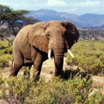 Elephant with big tusks