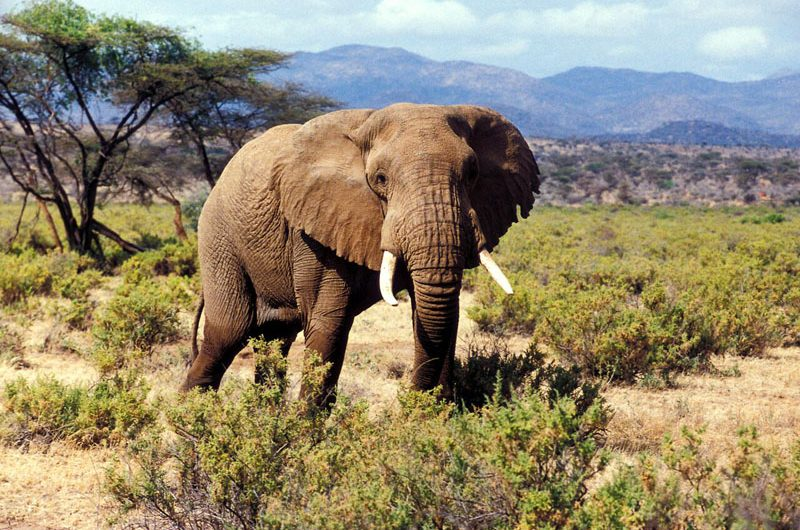 Elephant with big tusks