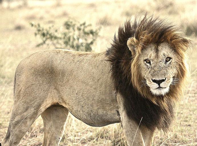 Lion with dark mane