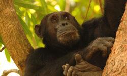 gombechimps_primate
