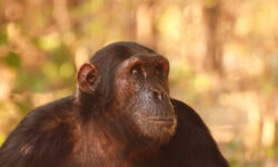 gombechimps_walking_safari