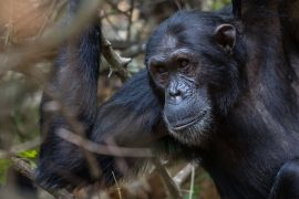 Chimpanzees in Tanzania