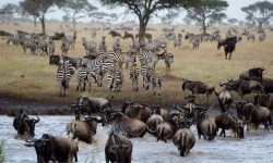 Zebras and Wildebeest crossing the River