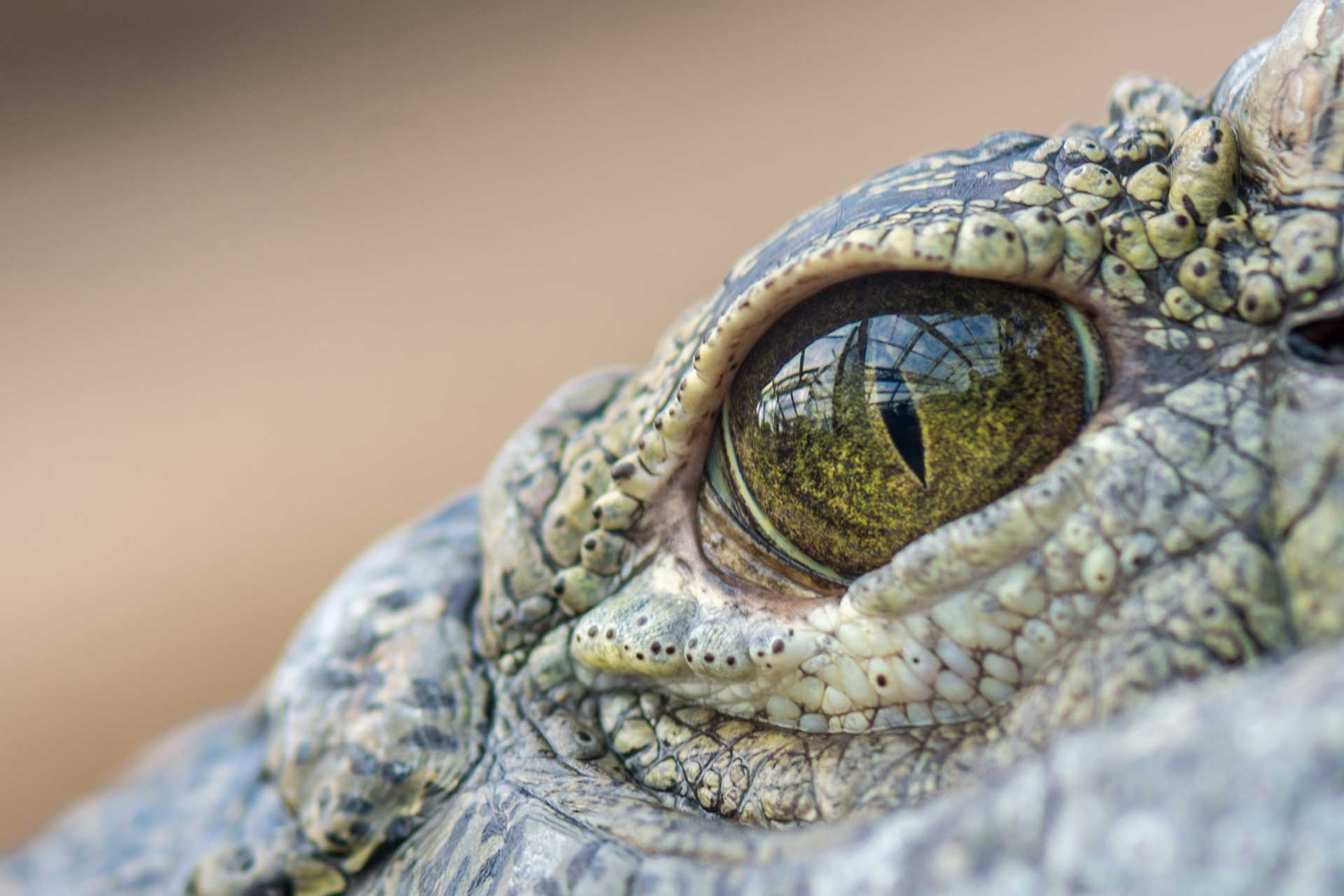 Crocodile eyes