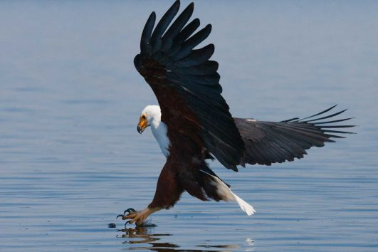 Fish Eagle - Zimbabwe and Victoria Falls