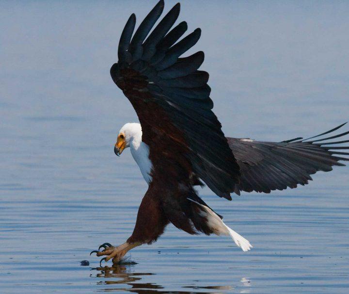 Fish Eagle - Zimbabwe and Victoria Falls
