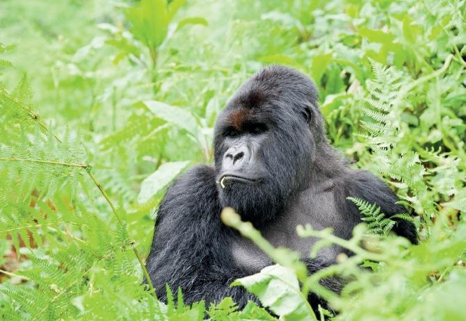 Gorilla in Rwanda