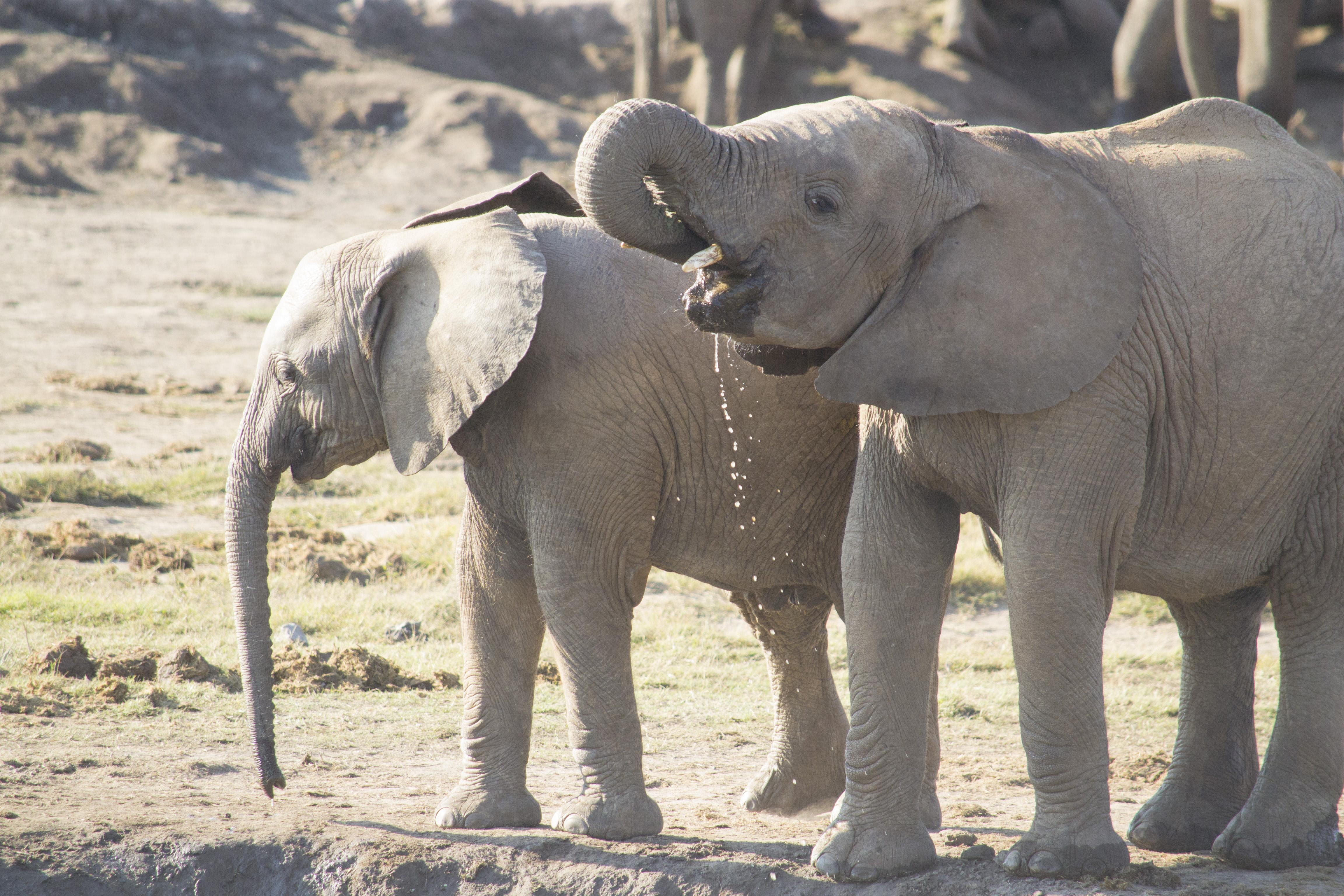 Elephants drinking - Madikwe
