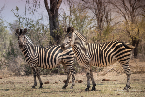 Zebra in Zambezi National Park