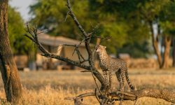 Singita-Sabora-Wildlife-Cheetah-scaled